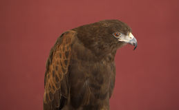 Harris Hawk isolated Stock Image
