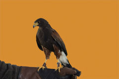 Harris Hawk isolated Stock Photo