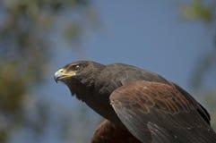Harris Hawk klaar om vluchtknipoogjes te nemen om een transparant doorzichtig ooglid te openbaren royalty-vrije stock foto