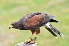 Harris Hawk klaar op te stijgen, Hoenberg, Fluiter, Canada stock foto's