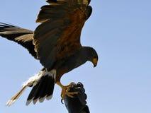 Harris Hawk Landing sulla mano inguantata Fotografie Stock