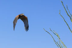 Harris hawk looking for small prey in desert Royalty Free Stock Photo