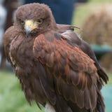 Harris Hawk med öppna ögon Royaltyfri Fotografi