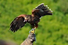 Harris Hawk mit Flügel-Verbreitung Stockbilder