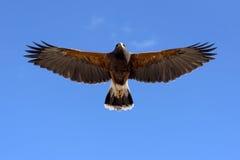 Harris Hawk nello spavento Fotografie Stock