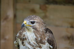 Harris Hawk - o unicinctus de Parabuteo Foto de Stock Royalty Free