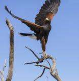 Harris Hawk omkring som ska landas på en filial Arkivfoton