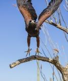 Harris Hawk omkring som ska tas av från ett träd Arkivfoto