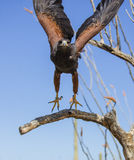 Harris Hawk ongeveer om van een boom op te stijgen Stock Foto