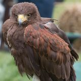 Harris Hawk with open eyes. Portrait of a Perched brown Harris Hawk looking away from the camera royalty free stock photography