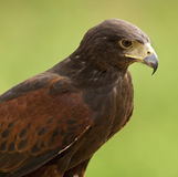 Harris Hawk (Parabuteo Unicentus) Stock Image