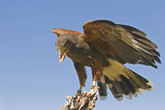 Harris hawk (parabuteo unicinctus) Stock Photo