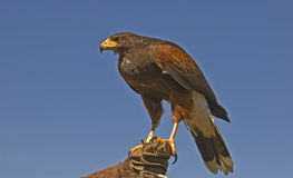 Harris hawk (parabuteo unicinctus) Royalty Free Stock Photography