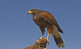 Harris hawk (parabuteo unicinctus). Harris hawk on falconer's glove Royalty Free Stock Photography