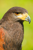 Harris Hawk or Parabuteo unicinctus Stock Image