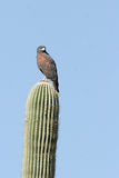 Harris Hawk, Parabuteo unicinctus. Harris Hawk atop a giant saguaro cactus in Arizona's Sonoran Desert royalty free stock photo