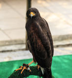 Harris Hawk (Parabuteo unicinctus) Stock Photos