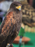 Harris Hawk (Parabuteo unicinctus) Royalty Free Stock Photo