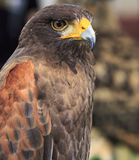 Harris Hawk (Parabuteo unicinctus) Royalty Free Stock Image