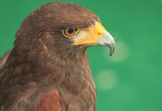 Harris Hawk (Parabuteo unicinctus) Stock Images