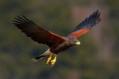 Harris Hawk. Parabuteo unicinctus, bird of prey in flight, in habitat, USA Royalty Free Stock Photography