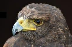 Harris Hawk Parabuteo unicinctus Royalty Free Stock Image
