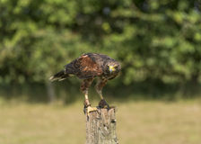 Harris Hawk (Parabuteo unicinctus). In captivity perched on wooden post Stock Photos