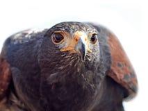 Harris hawk (Parabuteo unicinctus) Royalty Free Stock Photo