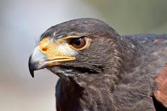 Harris hawk (Parabuteo unicinctus) Royalty Free Stock Photos