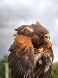Harris Hawk, Parabuteo unicinctus. Stock Photo