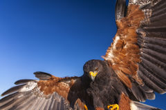 Harris Hawk. Parabuteo Unicinctus, in flight and landing. Bird of prey native to the southwestern United States of America south to Chile and central Argentina Royalty Free Stock Photos