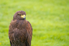 Harris Hawk, Parabuteo unicinctus. Royalty Free Stock Image