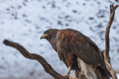 Harris' Hawk, Parabuteo unicinctus harrisi Stock Images