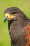 Harris Hawk or Parabuteo unicinctus. Head of Harris Hawk or Parabuteo unicinctus in side angle view - also called Dusty- or Baywinged hawk Stock Photos