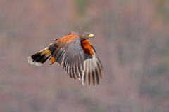 Harris Hawk, Parabuteo unicinctus, landing. Wildlife animal scene from nature. Bird in fly. Flying bird of prey. Wildlife scene fr stock photo
