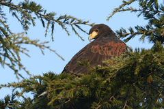 A Harris Hawk Parabuteo unicinctus perched in a pine tree. A stunning Harris Hawk Parabuteo unicinctus perched in a pine tree watching the birds looking for its stock photography