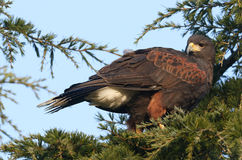 A Harris Hawk Parabuteo unicinctus perched in a pine tree. A stunning Harris Hawk Parabuteo unicinctus perched in a pine tree watching the birds looking for its royalty free stock image