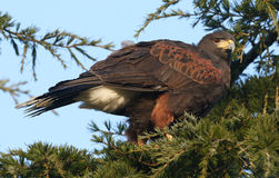 A Harris Hawk Parabuteo unicinctus perched in a pine tree. A stunning Harris Hawk Parabuteo unicinctus perched in a pine tree watching the birds looking for its royalty free stock photography