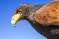Harris Hawk Stock Photo