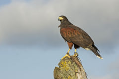 Harris hawk, Parabuteo unicinctus Royalty Free Stock Photo