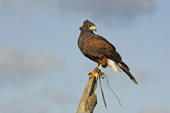 Harris hawk, Parabuteo unicinctus Royalty Free Stock Photography