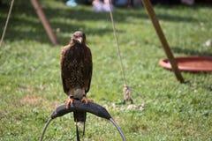 Harris hawk (Parabuteo unicinctus) sitting on a ring Royalty Free Stock Image