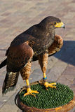 Harris Hawk (Parabuteo Unicintus) Immagine Stock