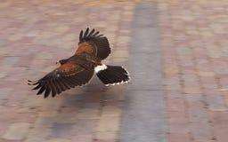 Harris Hawk  ( Parabuteo Unicintus ) Royalty Free Stock Image
