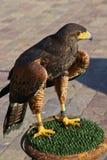 Harris Hawk  ( Parabuteo Unicintus ) Stock Image