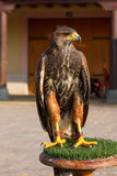 Harris Hawk  ( Parabuteo Unicintus ) Royalty Free Stock Images