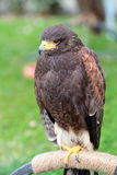 Harris' hawk on a perch Royalty Free Stock Images