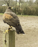 Harris Hawk on perch. A stunning hawk awaiting it's next command from the handler Royalty Free Stock Images