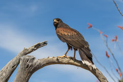 Harris Hawk Perched in Boom Royalty-vrije Stock Fotografie