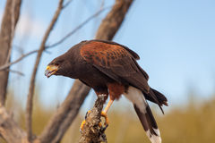 Harris Hawk. A harris hawk perched on a branch Stock Photo